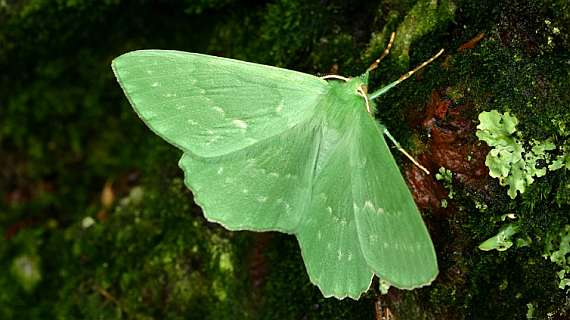 Large Emerald (Chris Manley)