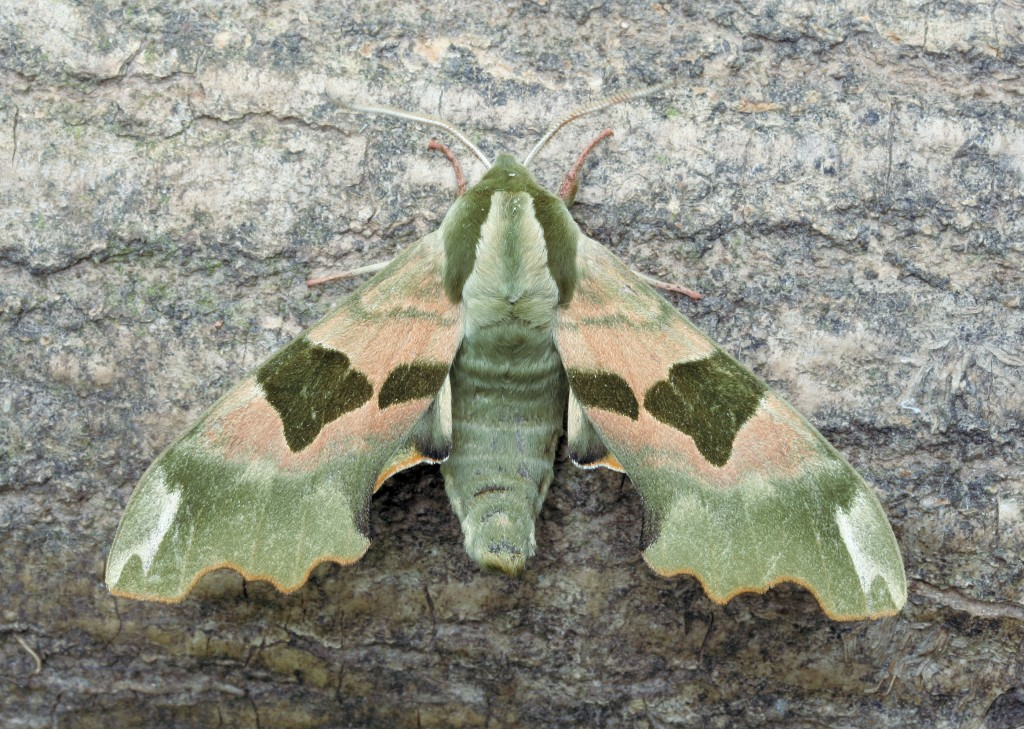 Lime Hawk-moth (Dave Green)