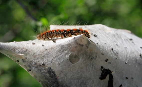 Small Eggar caterpillar (David & Sue Mentz)