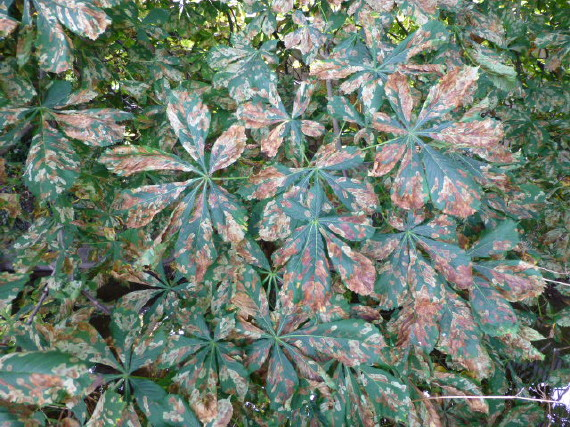 Horse-chestnut Leaf Miner damage (Richard Fox)