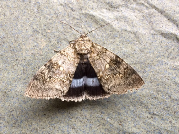 Clifden Nonpareil (Mike Lockyear)