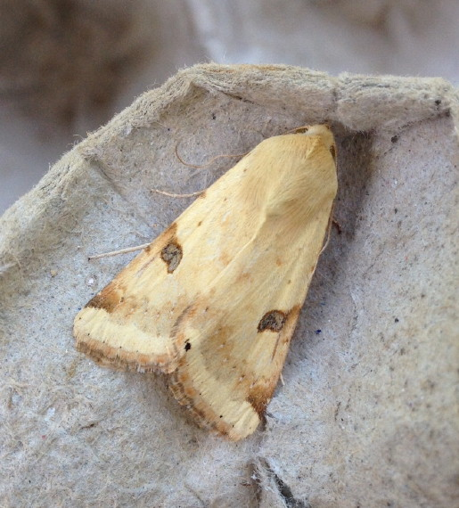 Bordered Straw at Abbotskerswell on 4 June 2015 (Richard Fox)