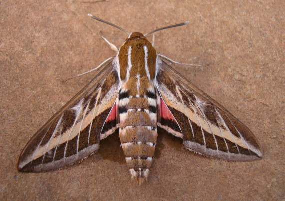 Striped Hawk-moth at Blackawton 13 June 2015 (Mark Marshall)