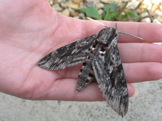 Convolvulus Hawk-moth (Mark Parsons/Butterfly Conservation)