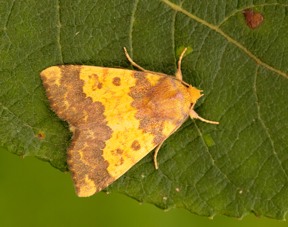 Barred Sallow (Iain Leach)