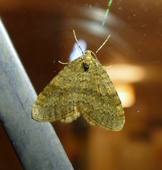 Winter Moth on window