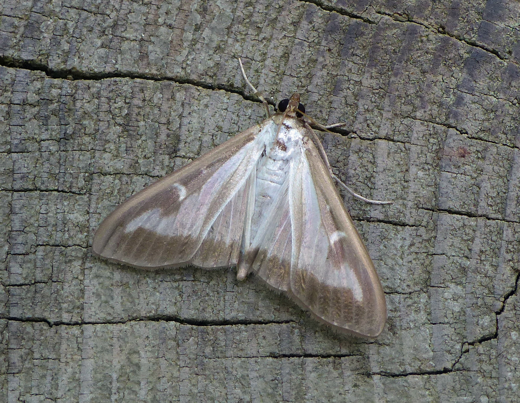 Box-tree Moth Cydalima perspectalis (Graham Davey)