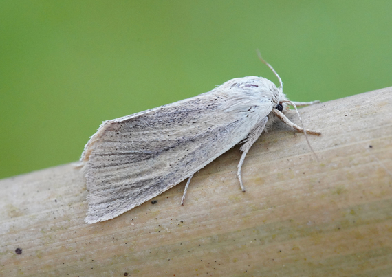Blair's Wainscot recorded in Devon (Richard Cottle)